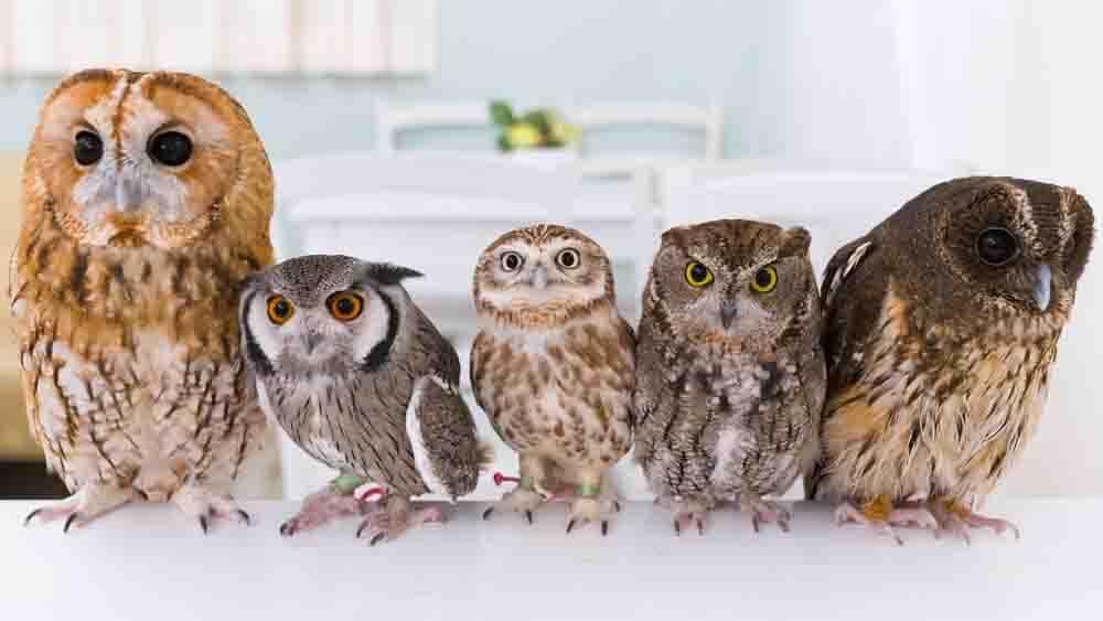 フクロウが5羽並んでいる写真