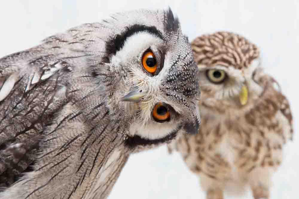 覗き見フクロウ