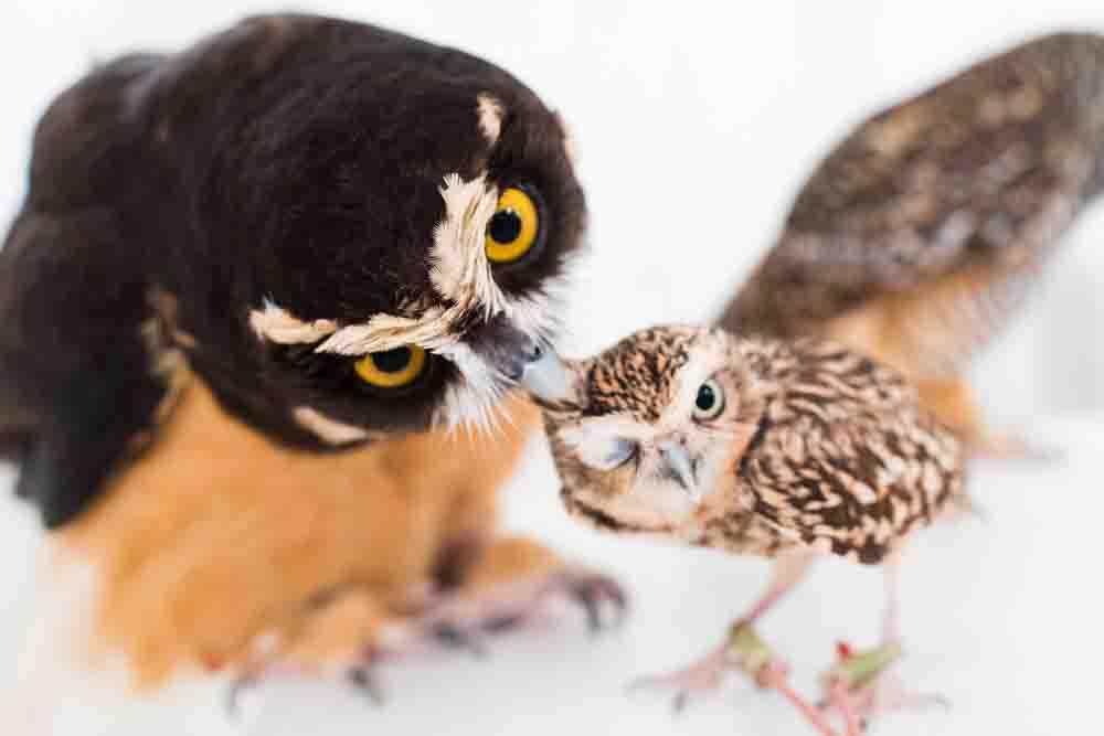 メガネフクロウとアナホリフクロウ