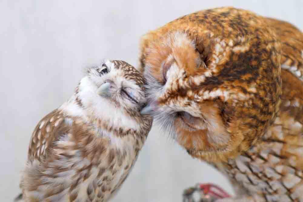 フクロウがキスしている