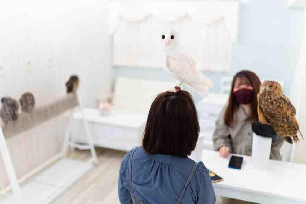 メンフクロウが頭に乗っている女性