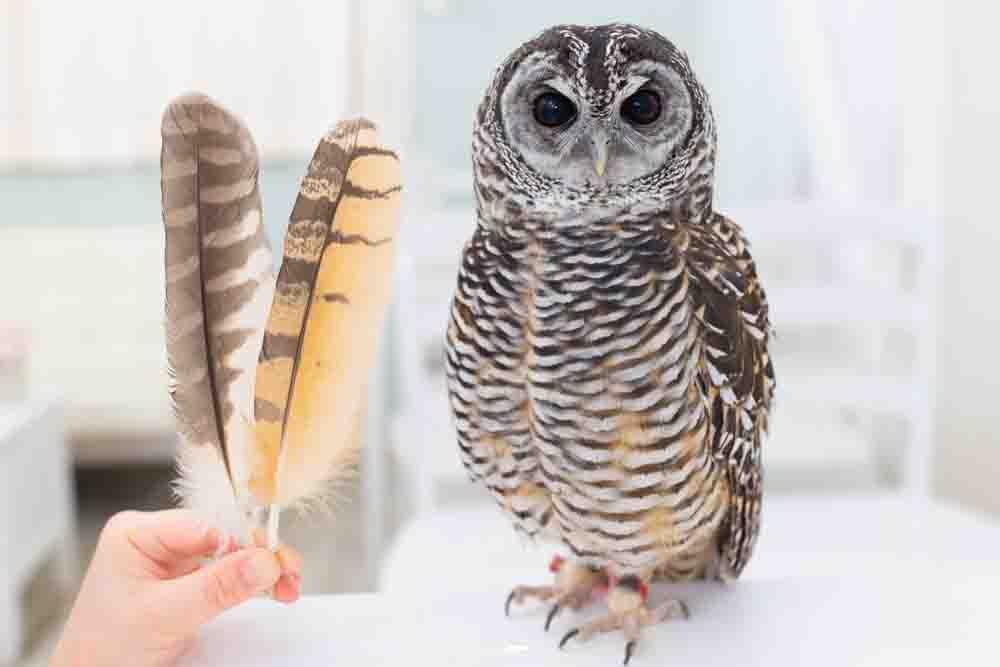 チャコモリフクロウとフクロウの羽