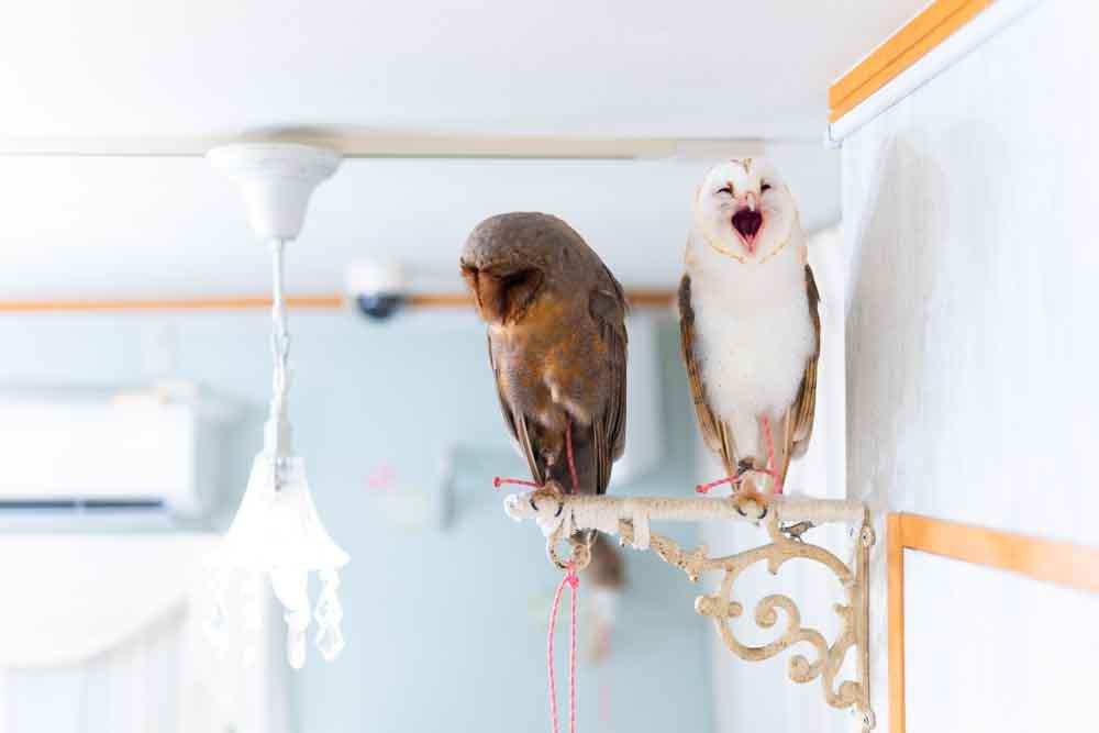 メンフクロウ2羽