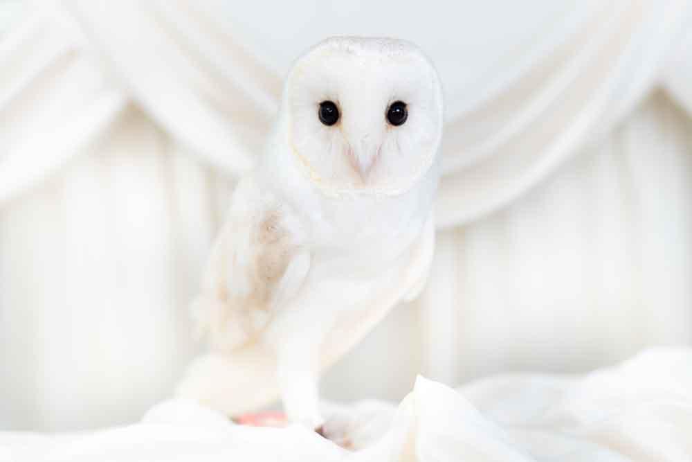 ホワイトメンフクロウ
