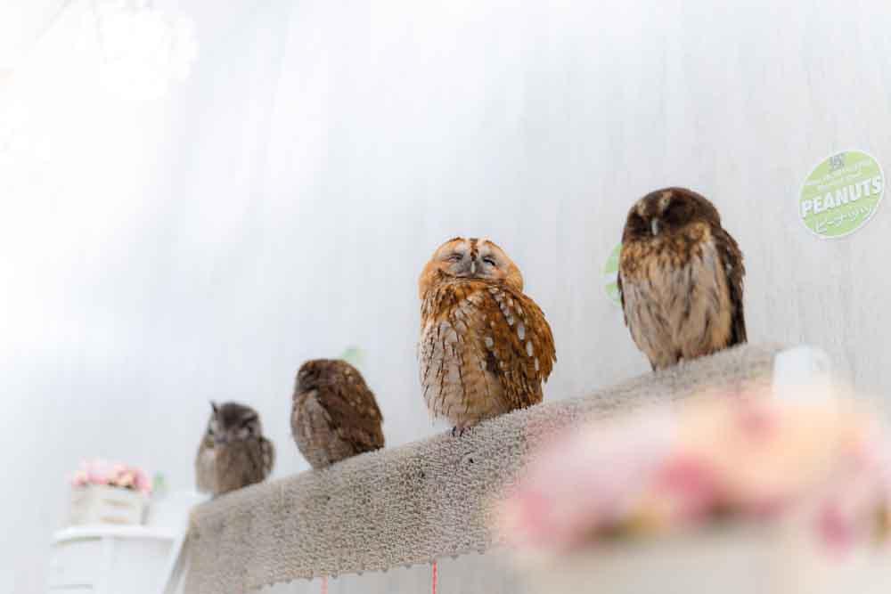 フクロウが4羽並ぶ