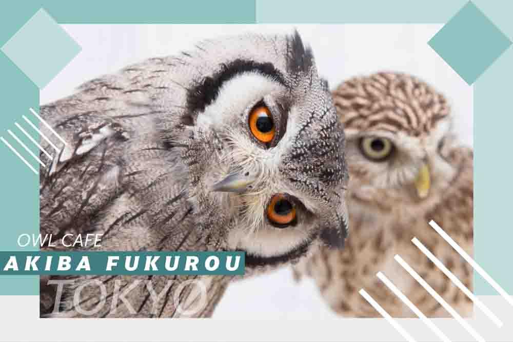 フクロウのペットショップ|フクロウ販売東京