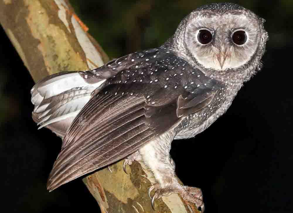 ススイロメンフクロウ GREATER SOOTY OWL Tyto tenebricosa