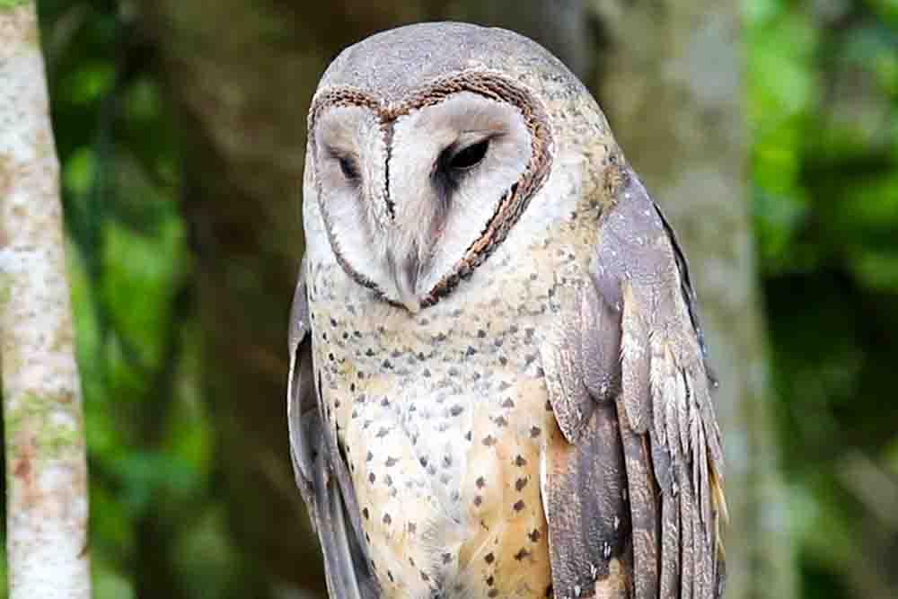 セレベスメンフクロウ SULAWESI MASKED OWL Tyto rosenbergii