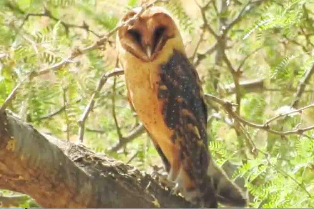 CAPE VERDE BARN OWL Tyto detorta