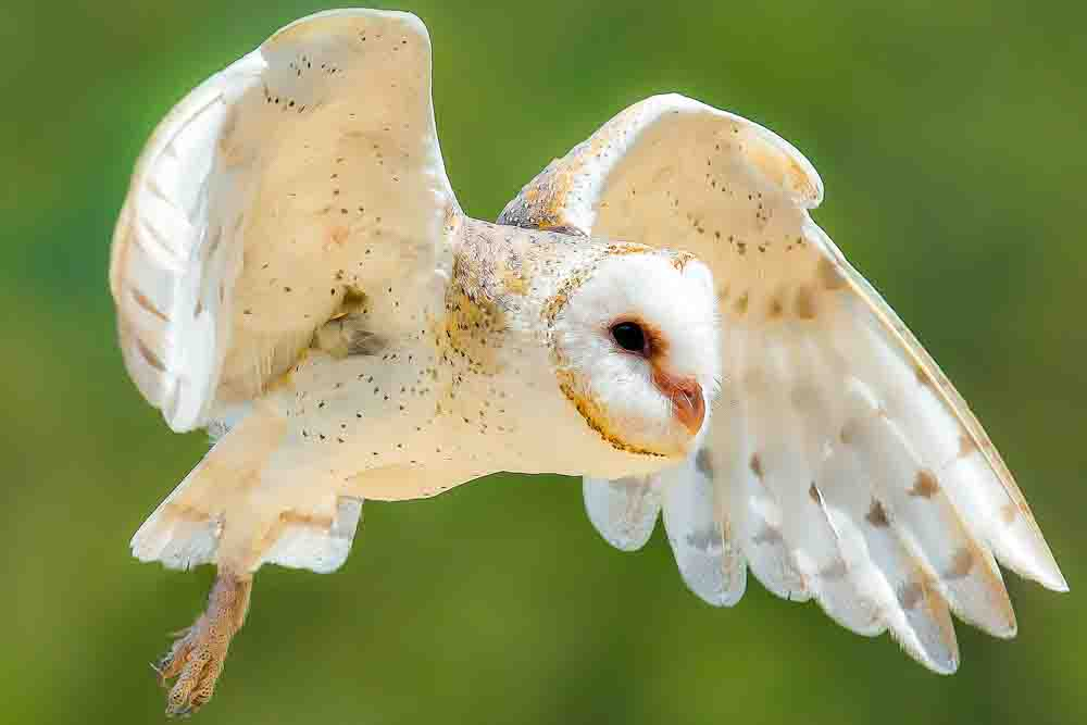 AUSTRALIAN BARN OWL Tyto delicatula