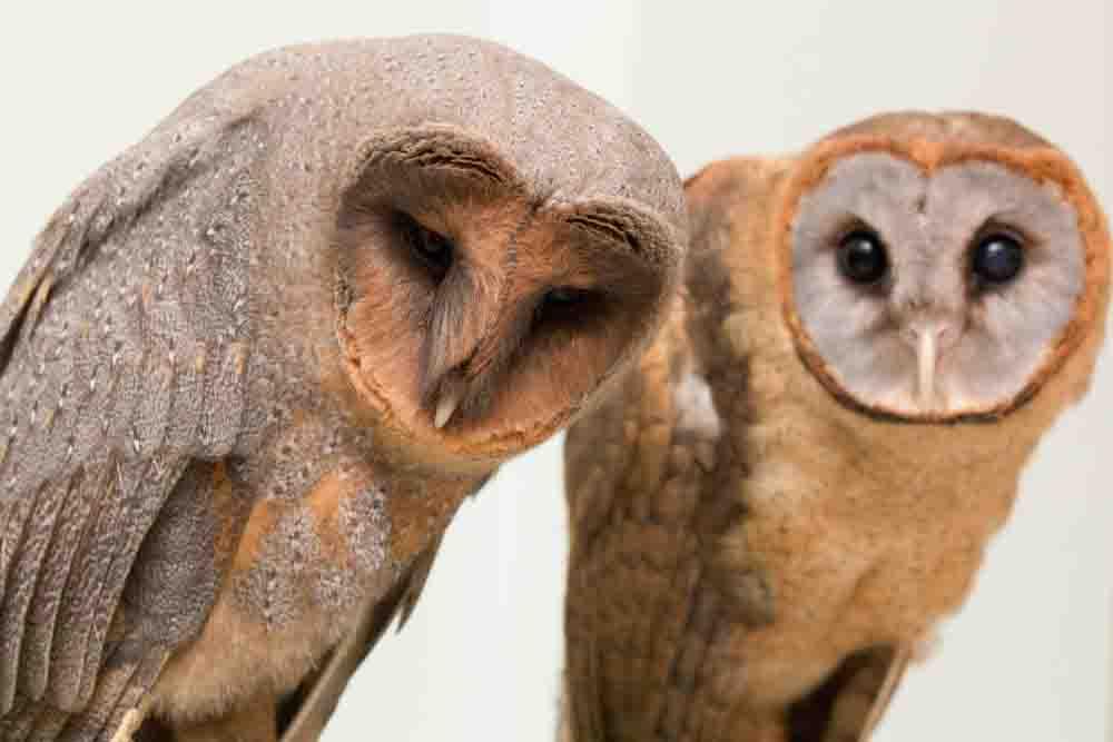 メンフクロウが2羽並んでいる