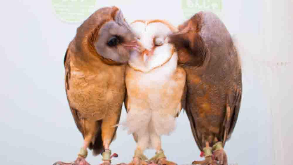メンフクロウのキス