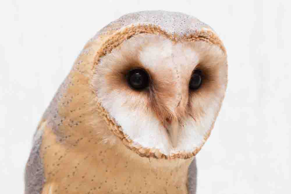 メンフクロウのアップ写真