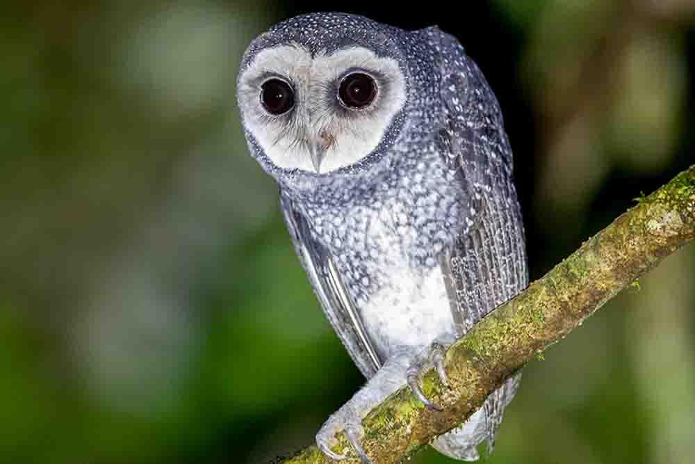 ヒメススイロメンフクロウ LESSER SOOTY OWL Tyto multipunctata