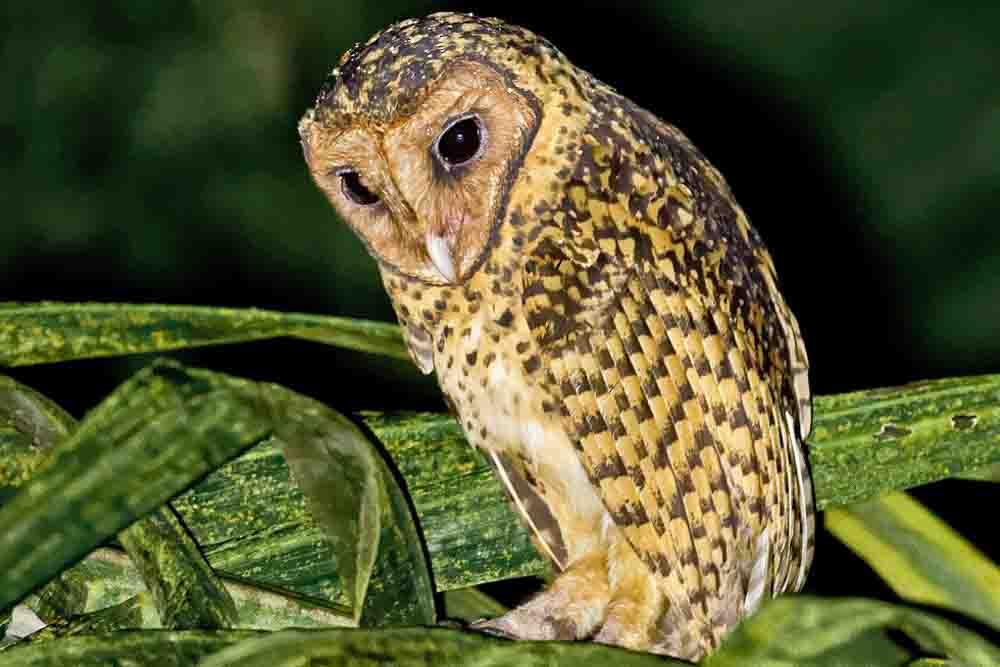 ニューブリテンメンフクロウ GOLDEN MASKED OWL Tyto aurantia