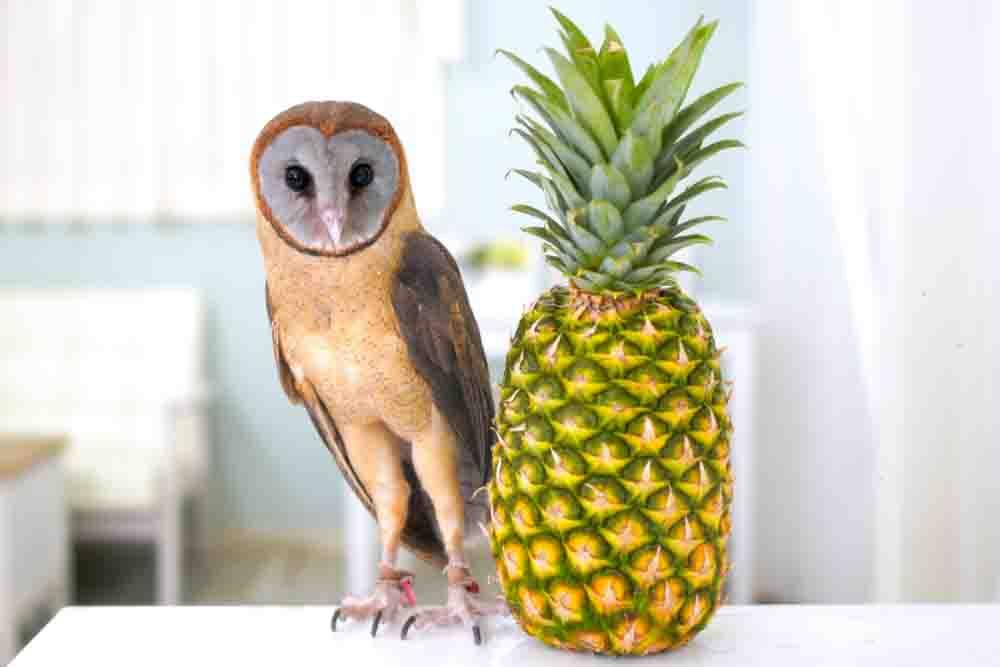 メンフクロウとパイナップル