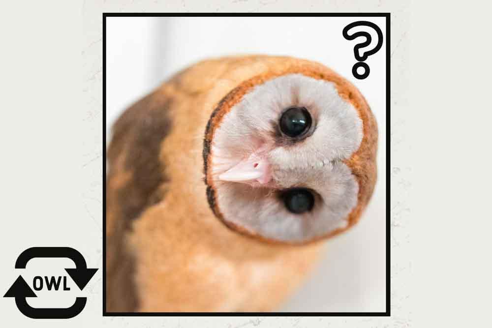 メンフクロウの写真