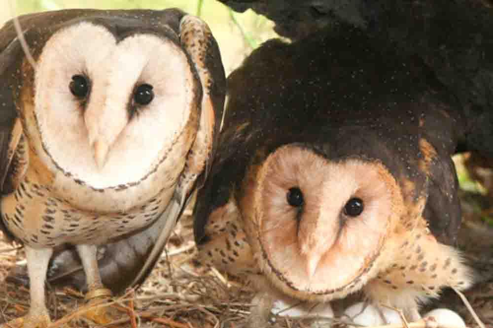 ヒガシメンフクロウ EASTERN GRASS OWL Tyto longimembris