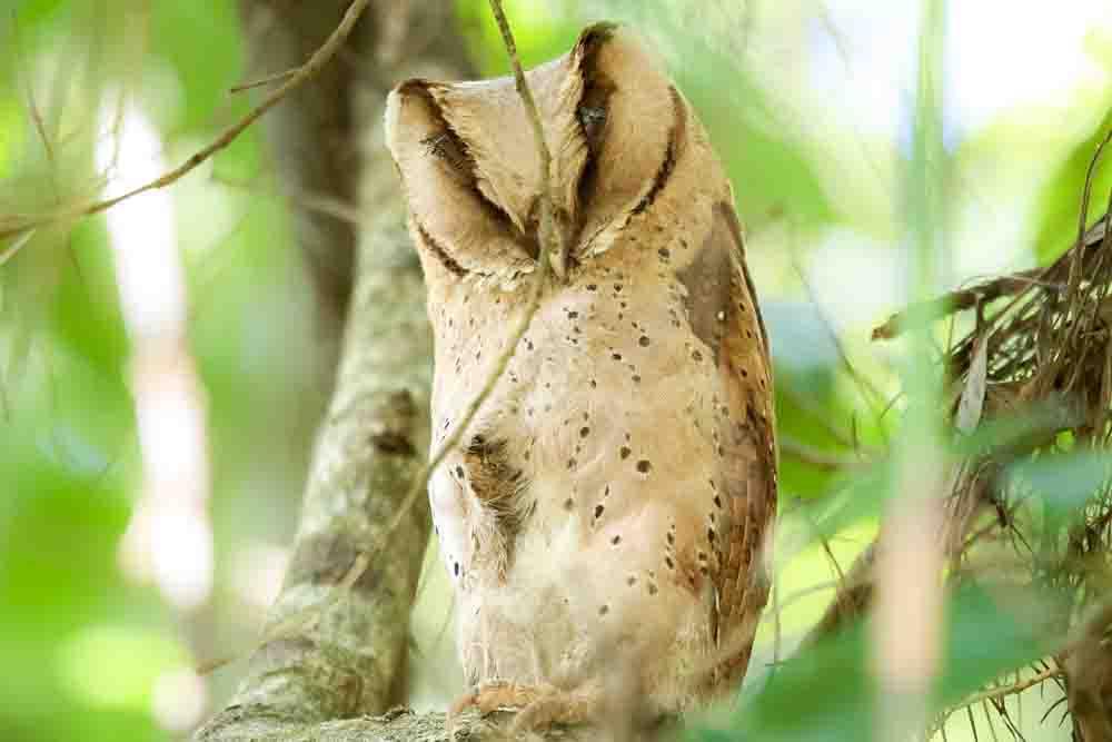 スリランカメンフクロウ SRI LANKA BAY OWL Phodilus assimilis