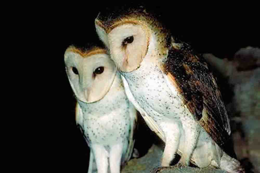 CURAGAO BARN OWL Tyto bargei