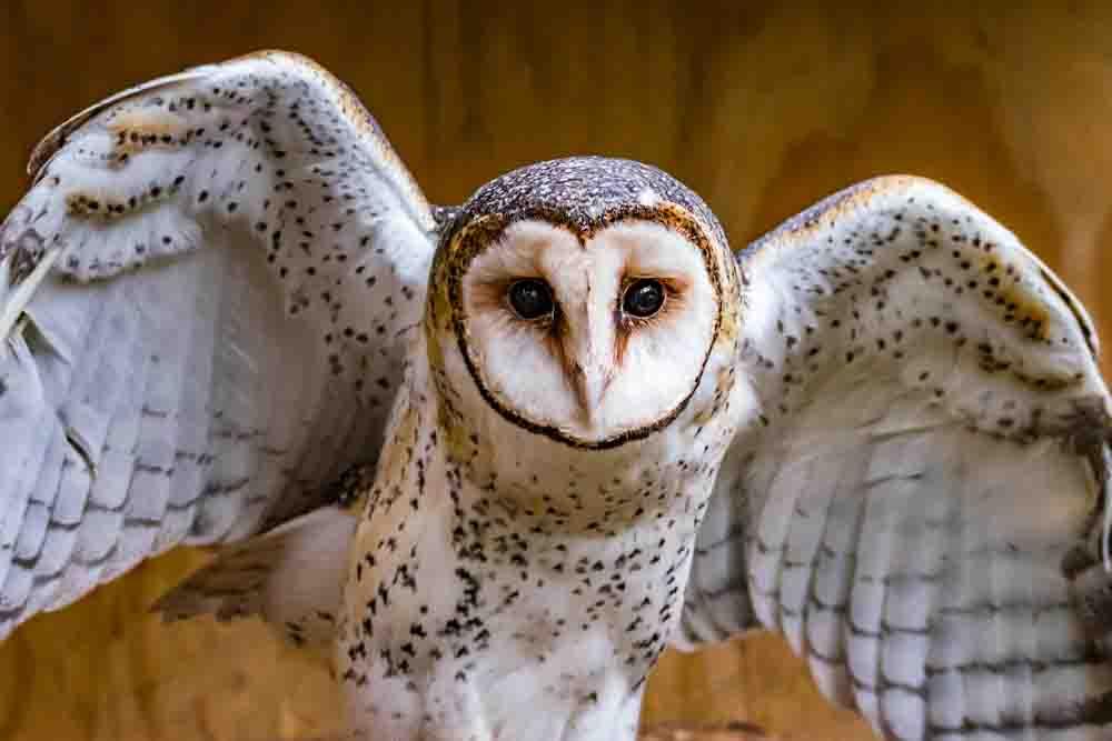 オオメンフクロウ AUSTRALIAN MASKED OWL Tyto novaehollandiae