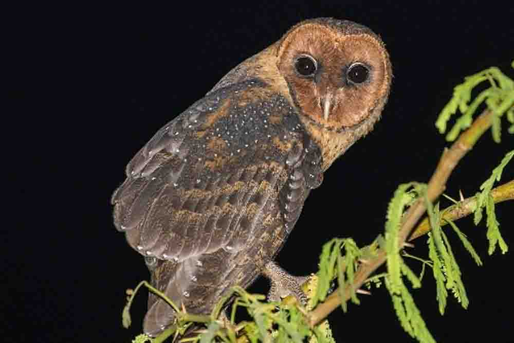 LESSAR ANTILLES BARN OWL Tyto insularis