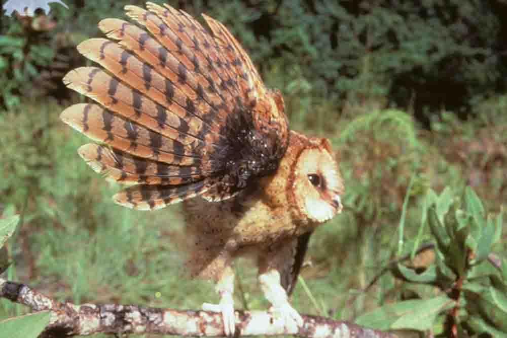 コンゴニセメンフクロウ ITOMBWE OWL Tyto prigoginei