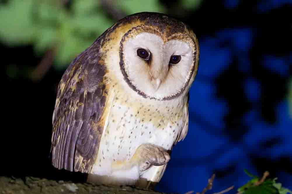 タスマニアメンフクロウ TASMANIAN MASKED OWL Tyto