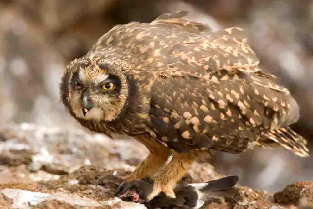 GALÁPAGOS BARN OWL Tyto punctatissima