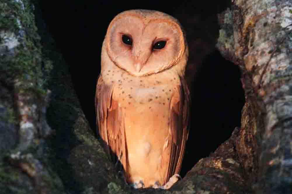 スラメンフクロウ TALIABU MASKED OWL Tyto nigrobrunnea