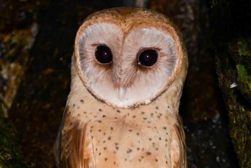 マダガスカルメンフクロウ MADAGASCAR RED OWL Tyto soumagnei