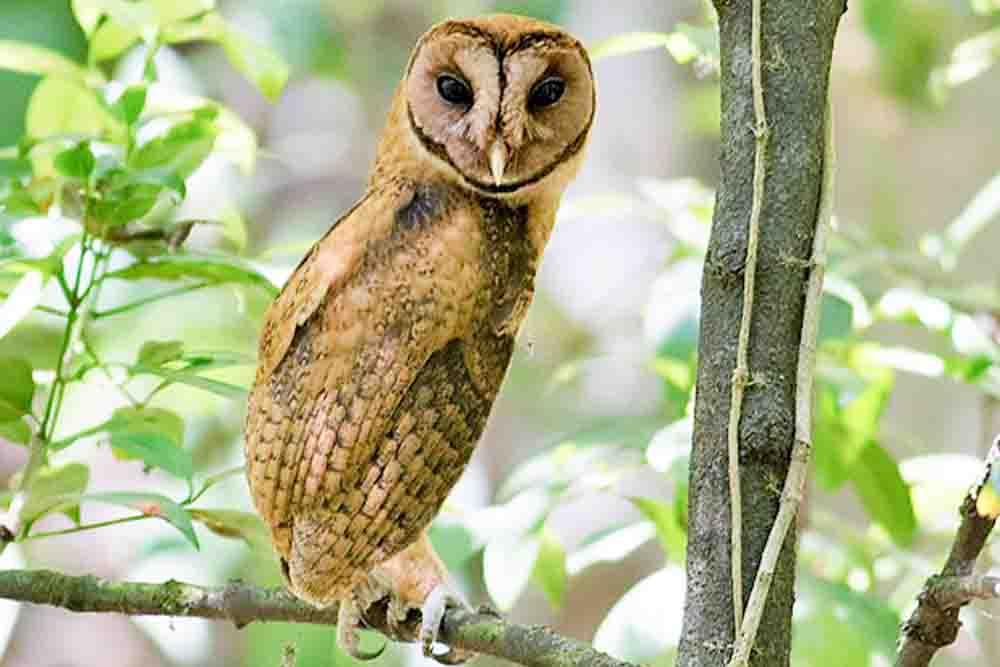 ミナハサメンフクロウ SULAWESI GOLDEN OWL Tyto inexspectata