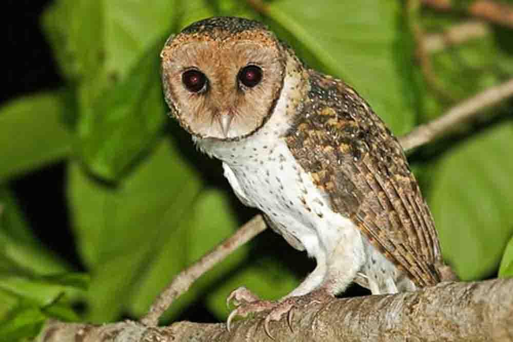 コメンフクロウ LESSER MASKED OWL Tyto sororcula