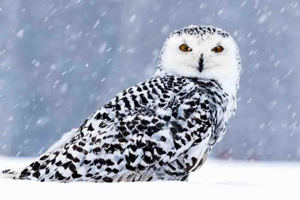 シロフクロウが雪の中にいる写真