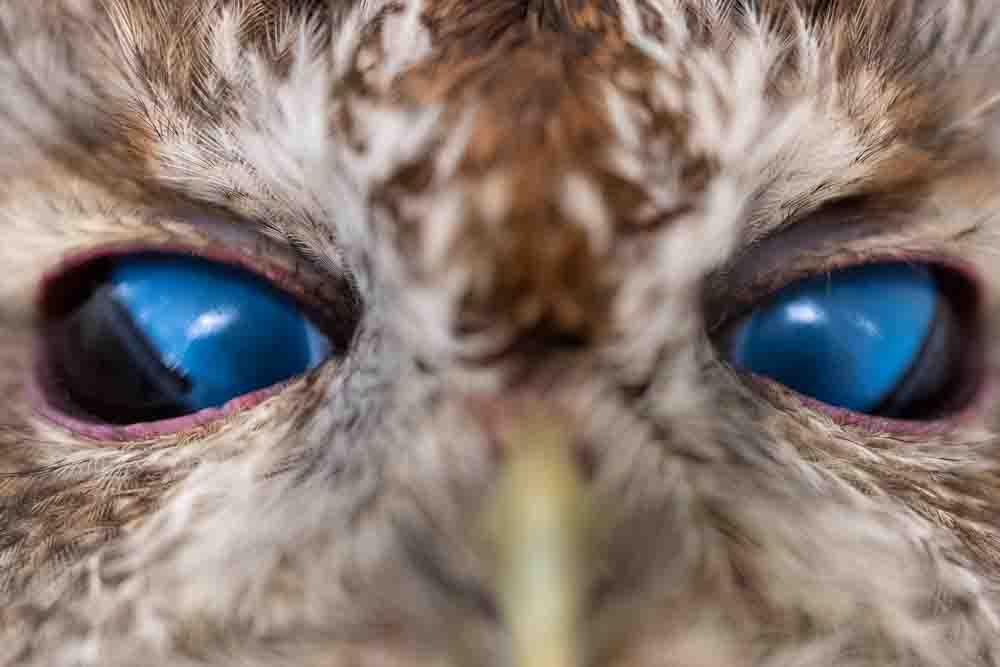 フクロウの瞬膜